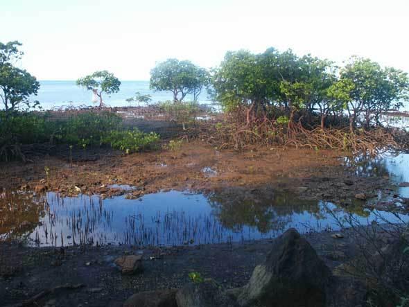 Mangrove (Canala)