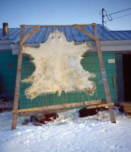 Peau d'ours, dans le bassin Foxe, au nord de la baie d'Hudson