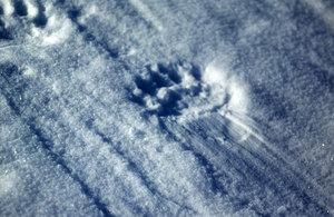 Traces de pas d'un ours blanc dans la neige (Nunavut)